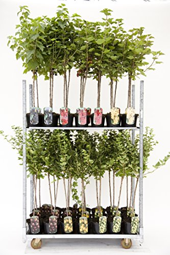 Rote, weiße oder Schwarze Johannisbeere Beerenobst Gartenpflanze Ribes rumbrum auf Stamm veredelt...