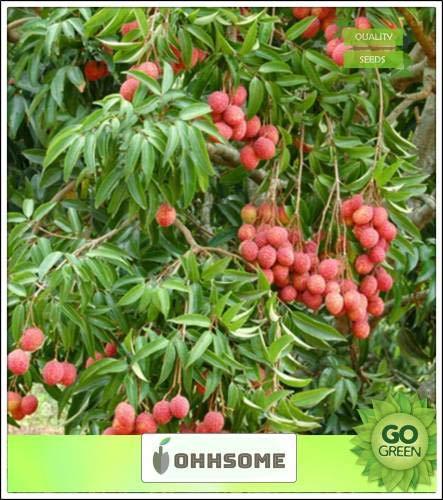 Pinkdose Obst Pflanzensamen Lychee