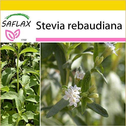 SAFLAX - Anzucht Set - Kräuter - Stevia Süßkraut - 100 Samen - Mit Mini-Gewächshaus,...