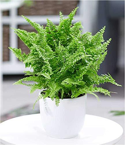 BALDUR Garten Schwertfarn Vitale, 1 Pflanze Zimmerpflanze luftreinigend Nephrolepis Vitale...
