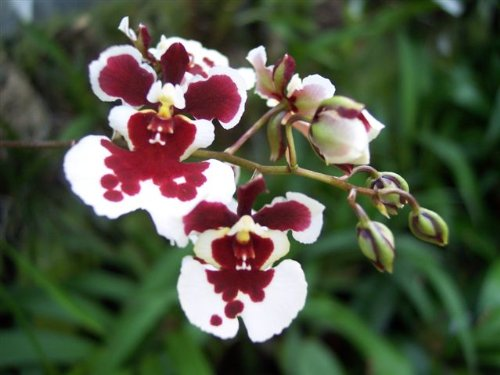 1 blühfähige Orchidee der Sorte: Oncidium Variegatum, 9cmTopf