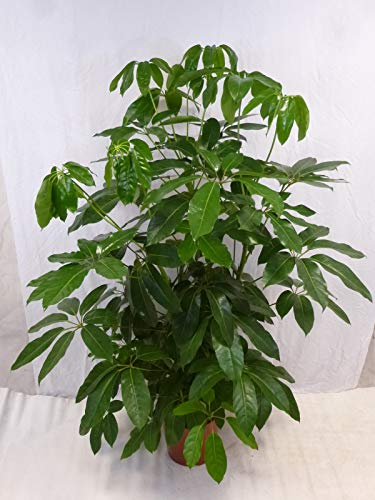 [Palmenlager] - XXL Schefflera actin.'Amate' 160-180 cm - 3er Tuff - Strahlenaralie/Zimmerpflanze