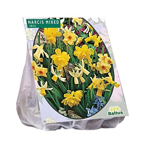 Narcis Mini Mix 40 Stück Osterglocken Narzissen Blumenzwiebel