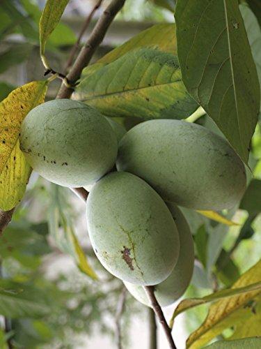 Seedeo®Anzuchtset Indianerbanane / Papau / Pawpaw (Asimina triloba) BIO