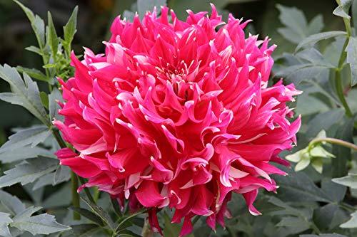 Schmuck Dahlie großblumig Myth Knolle Blumenzwiebeln (1 Knolle)