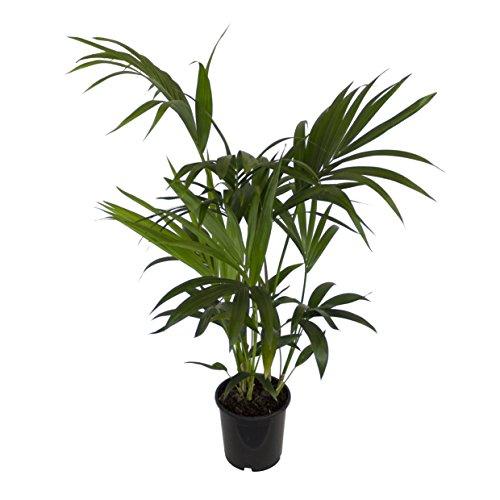 Dominik Blumen und Pflanzen, Zimmerpflanzen Kentia-Palme, Howea forsteriana,  1 Pflanze,  3 l Topf,...