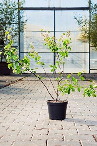 Echte Felsenbirne 40-60 cm Strauch für Sonne-Halbschatten Heckenpflanze grünes Laub Gartenpflanze...