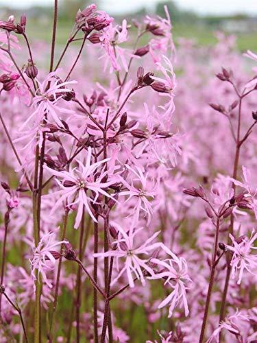 Keland Garten - Rarität 50pcs Kuckucks-Lichtnelke Rosa Als Bienenweide am Teichrand, Blumensamen...