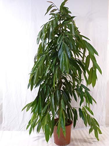 [Palmenlager] - XXL Ficus bin.'Amstel King' - 180/200 cm/Zimmerpflanze ähnlich benjamini