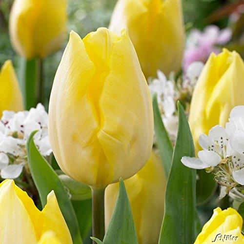 Tulpenzwiebeln Sunny Prince Gelb - Blumenzwiebeln, mehrjährig & robust- Frühe Tulpe Sunny Prince -...