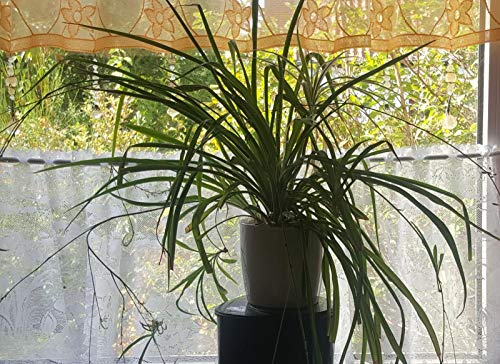 Zimmerpflanze für Wohnraum oder Büro - Chlorophytum - Hängende Grünlilie - Große buschige...