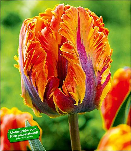 BALDUR-Garten Papageien-Tulpe'Irene Parrot', 8 Zwiebeln Tulipa Blumenzwiebeln