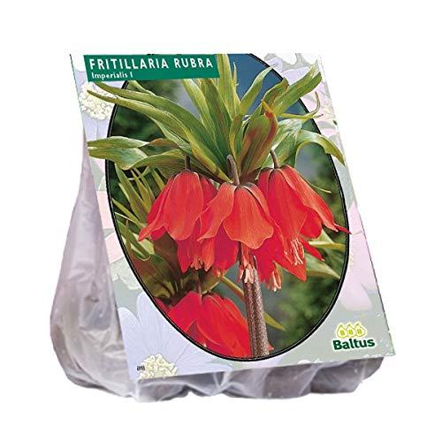 Fritillaria Imperialis Rubra 3 Stück rot Kaiserkrone Blumenzwiebel