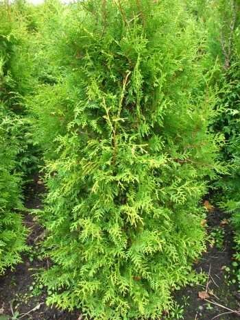 Brabant Lebensbaum Thuja occidentalis Brabant 80-100 cm hoch im 5 Liter Pflanzcontainer