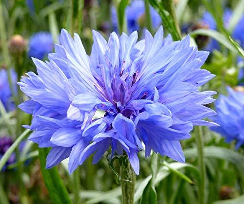 Kornblume - Centaurea cyanus - Blume - 500 Samen