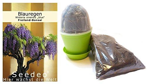 """Seedeo Bonsai Anzuchtset Blauregen (Wisteria sinensis """"blue"""")"""
