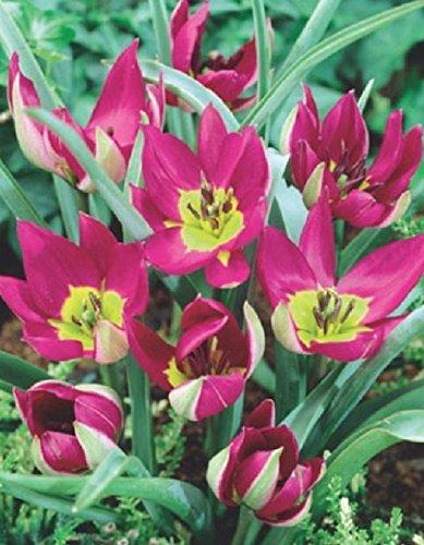 Wildtulpen Persian Pearl Botanische Tulpen Tulpenzwiebeln (20 Blumenzwiebeln)