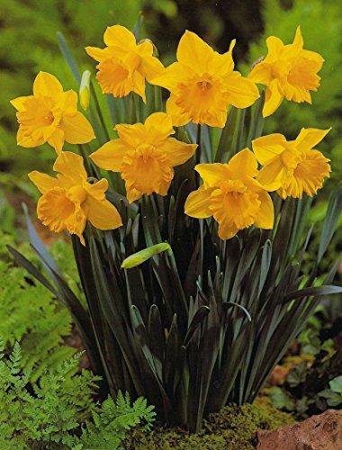 Blumenhandel Ullrich Großblumige Narzissen Carlton 50 Blumenzwiebeln Narcissus