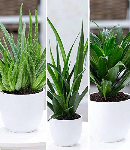 BALDUR-Garten Zimmerpflanzen-Mix'Grüne Lieblinge', 3 Pflanzen 1 Pflanze Aloe Vera, 1 Pflanze...