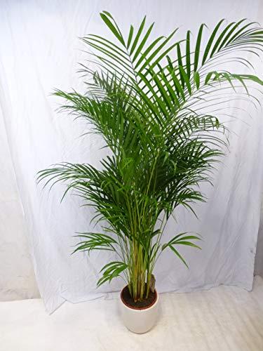 [Palmenlager] Goldfruchtpalme 190/210 cm - Areca Palme - // Zimmerpflanze Zimmerpalme