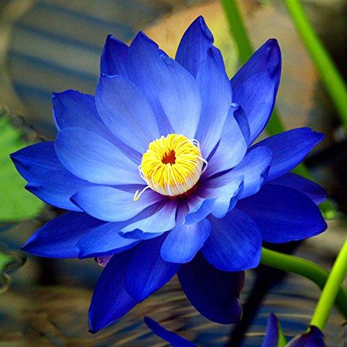 Liveseeds - Mini Saphir Bonsai Lotus/Wasser Lily Blume / 5 frische Samen