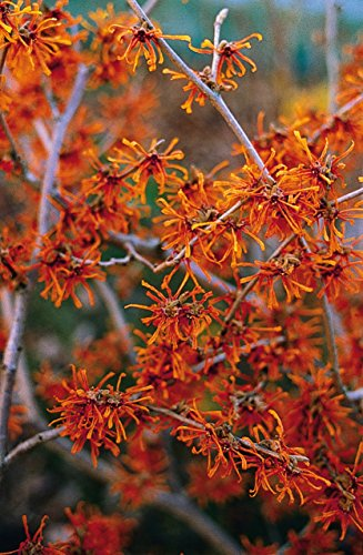 Orange Zaubernuss Aphrodite - Hamamelis intermedia Aphrodite - gelb-orange leuchtend winterblühend...
