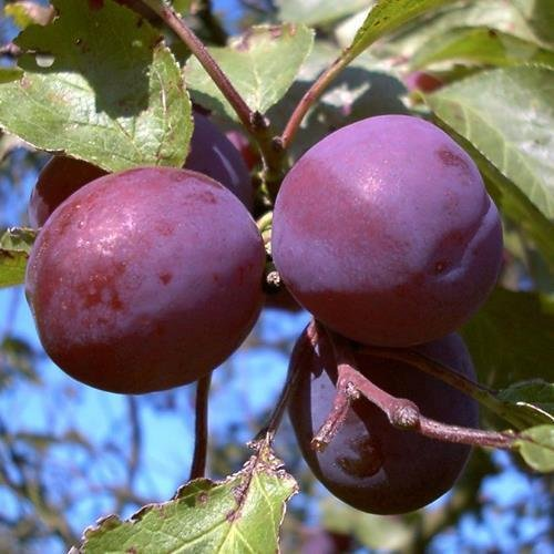 Königin Viktoria Pflaume Pflaumenbaum Obstbaum Busch 2-jährig Liefergröße ca. 120-160 cm im Topf