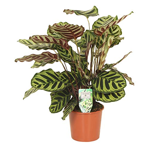 Calathea makoyana   Calathea Korbmarante   Zimmerpflanzen groß   Höhe 80-90 cm   Topf-Ø 17 cm