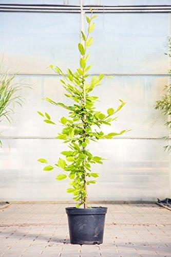 Hainbuche 80-100 cm Busch für Sonne-Halbschatten Heckenpflanze grünes Laub Gartenpflanze...