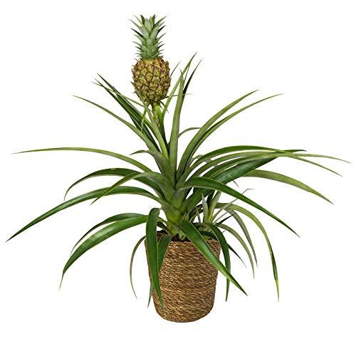 Pflanzen Kölle Zier-Ananas inkl. Korb Maki, Ananas comosus 'Amigo', Höhe ca. 45 cm