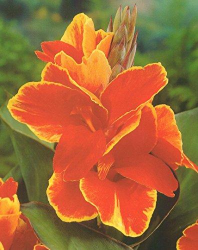 Canna Rosemond Coles Blumenrohr Rhizom Blumenzwiebeln (3 Canna (Rhizome))