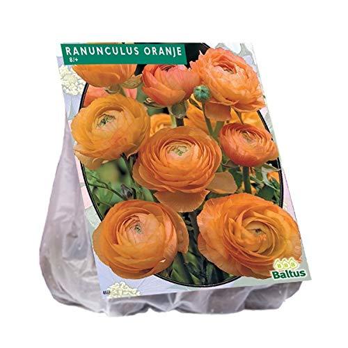 Ranonkel, Oranje 15 Stück Ranunkel orange Blumenzwiebel