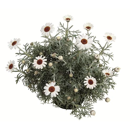Marokko Margerite 'African Spring', Leucanthemum hosmariense - winterhart, im Topf 12 cm, in...