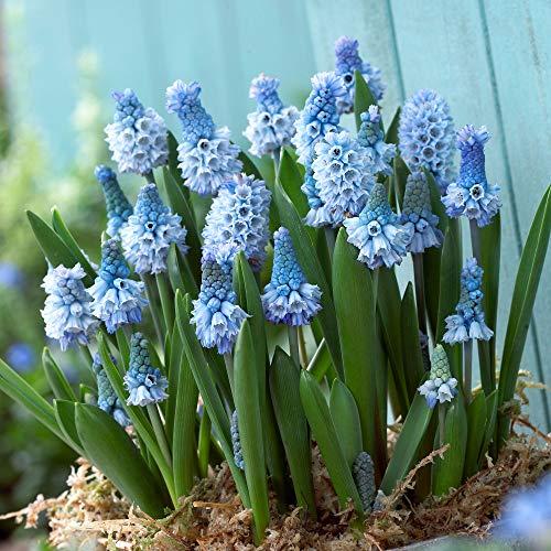 40x Muscari azureum | 40er Mix Traubenhyazinthen | Blaue Blüte | Blumenzwiebeln Mehrjährig...