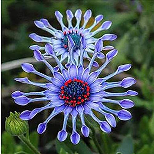 begorey Garten - Blaue Gänseblümchen Samen Seltene Pflanzen Samen Exotische Dekorative Blumensamen