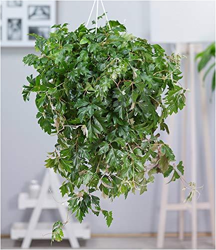 BALDUR-Garten Hängepflanze Cissus, 1 Pflanze Zimmerpflanze hängend Zimmerpflanze