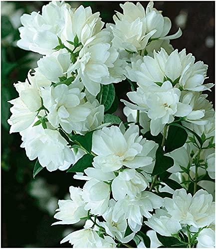 BALDUR Garten Bauern-Jasmin, 1 Pflanze, Philadelphus coronarius Gartenjasmin duftend winterhart...