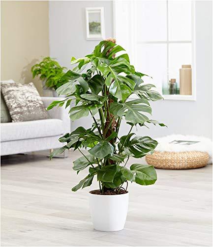 BALDUR Garten Monstera - Fensterblatt ca. 50 cm hoch, 1 Pflanze Pflegeleichte Zimmerpflanze auch...
