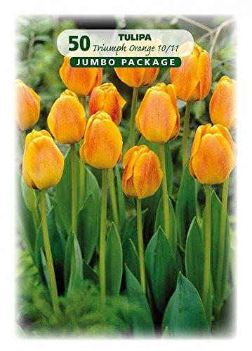 Quedlinburger 308452 Tulpe orange (50 Stück) (Tulpenzwiebeln)