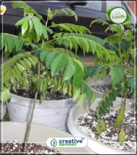 Pinkdose Samen für Curry-Blätter Samen für Curry-Blätter Garten Pflanzensamen Obst Bonsai Samen...