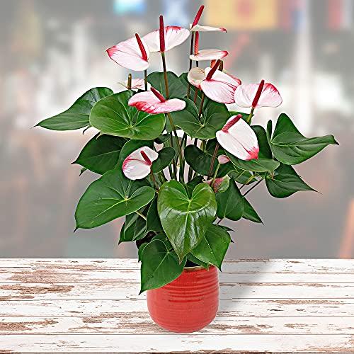 Anthurium andreanum 'Hotlips' | Flamingoblume | Exotische Zimmerpflanze | Höhe 35-40 cm | Topf-Ø...