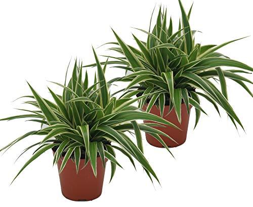 Grünlilie, (Chlorophytum comosum), luftreinigende Zimmer und Büropflanze, (2 Pflanzen je im 12cm...