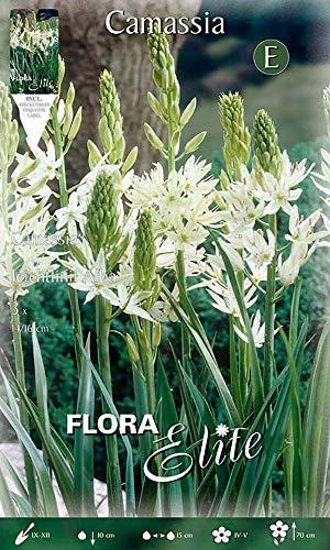 Flora Elite 791949 Prärielilie (3 Stück) (Prärieliliezwiebeln)