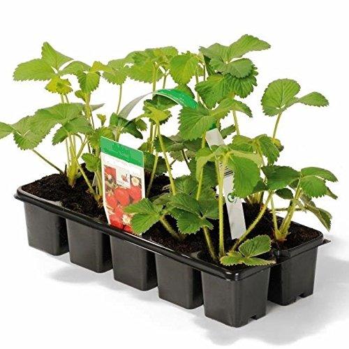 Müllers Grüner Garten Shop Erdbeere Sorte Honeoye, Erdbeerpflanze, frühe Reifezeit, aromatisch u....