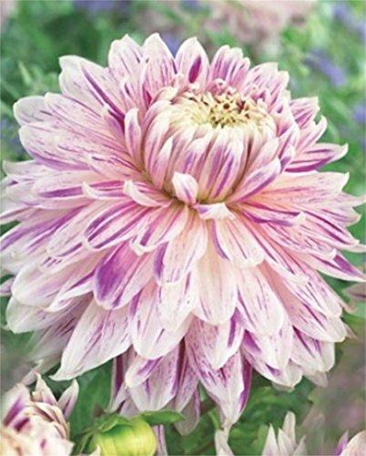 Schmuck Dahlie großblumig Avignon Knolle Blumenzwiebeln (1)