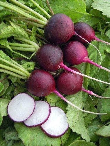 JustSeed - Gemüse - Radieschen - Malaga Violett - 600 Samen