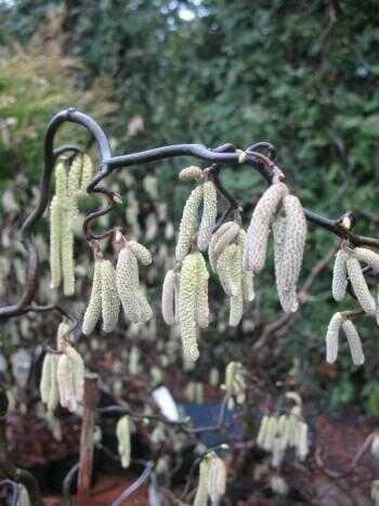 Korkenzieher Hasel Corylus avellana Contorta 40-60 cm hoch im 3 Liter Pflanzcontainer