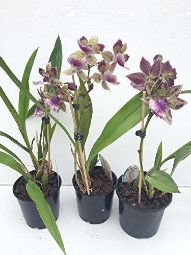 1 blühfähige Orchidee der Sorte: Zygopethalum x Acacallis Hybride , traumhafte Orchidee vom...