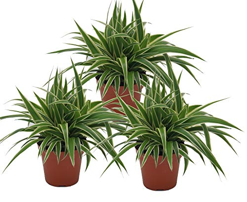 Grünlilie, (Chlorophytum comosum), luftreinigende Zimmer und Büropflanze, (3 Pflanzen je im 12cm...