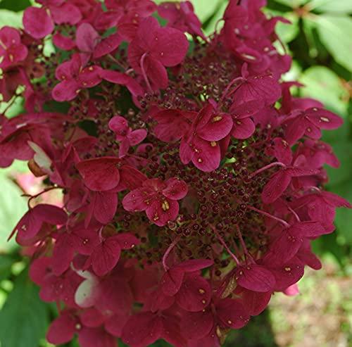 Rispenhortensie Wims Red weiß-rosa-rot - Hortensie winterhart & mehrjährig - Hydrangea Paniculata...